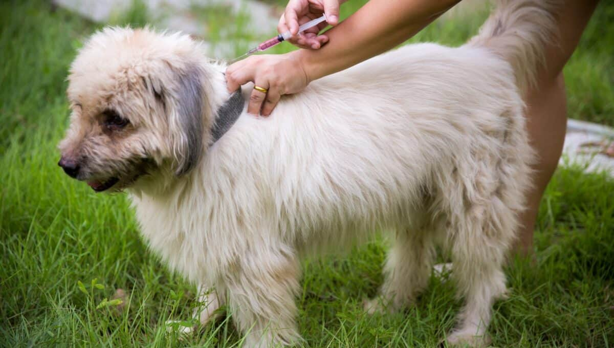 It's extremely important to make sure your dog gets canine distemper vaccines.