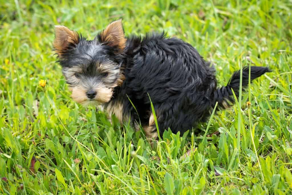 Small black and brown terrier with diarrhea could benefit from Pepto Bismol for Dogs