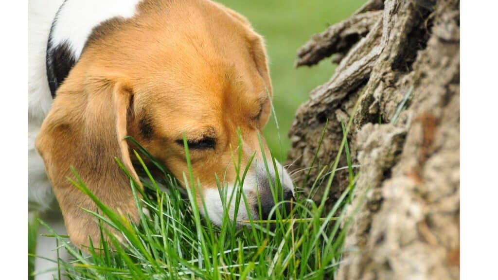 Dogs eat grass for a number of reasons.
