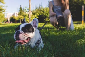 11 Best French Bulldog Rescues Nj Your Dogs Health Matters