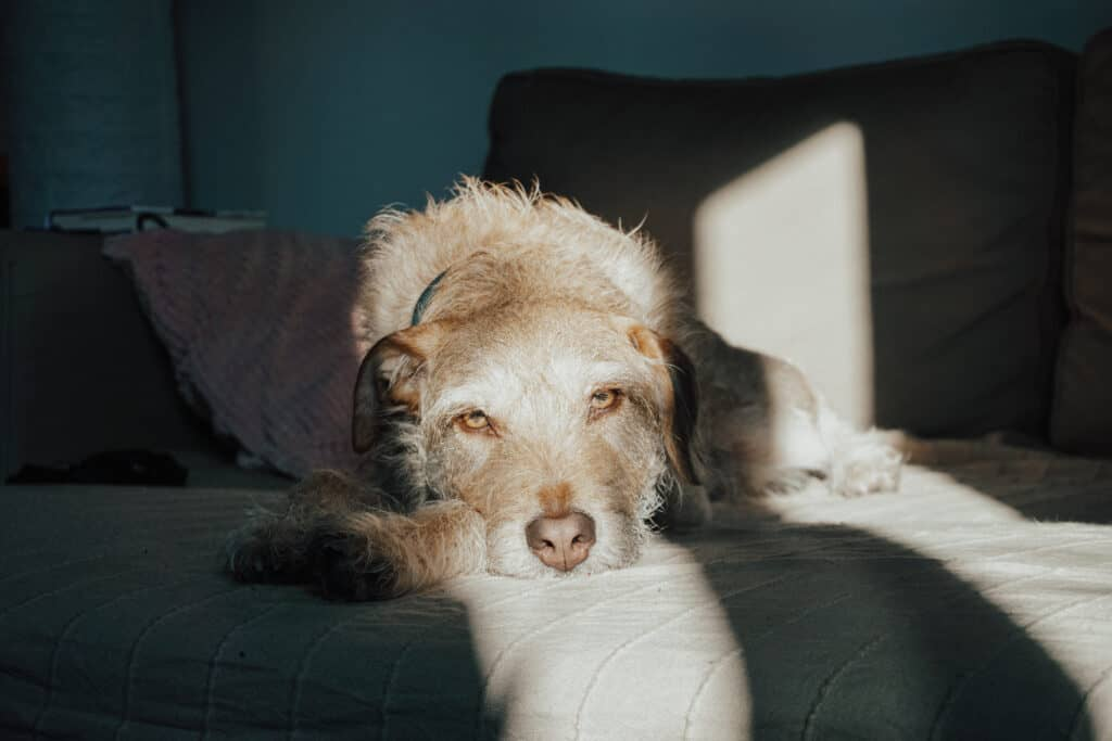 Gabapentin for Dogs sometimes leaves dogs feeling drowsy.