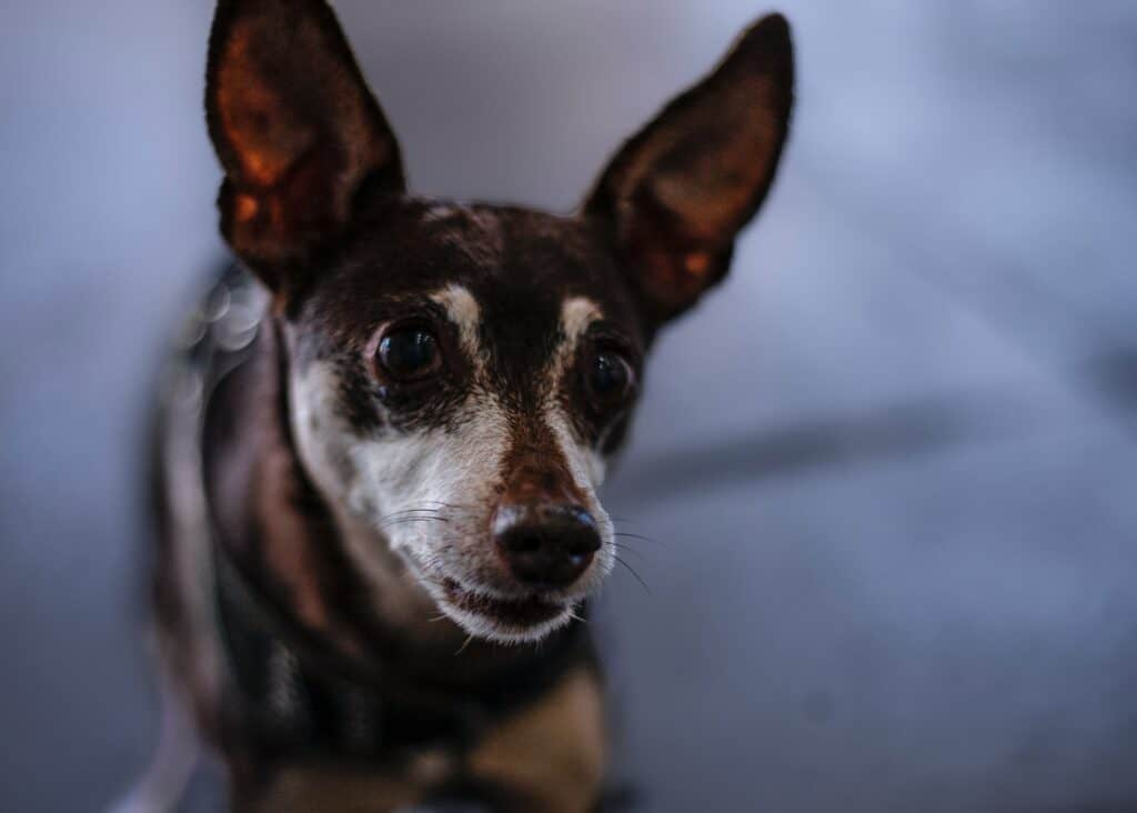 Glaucoma in dogs is a serious condition that can lead to blindness