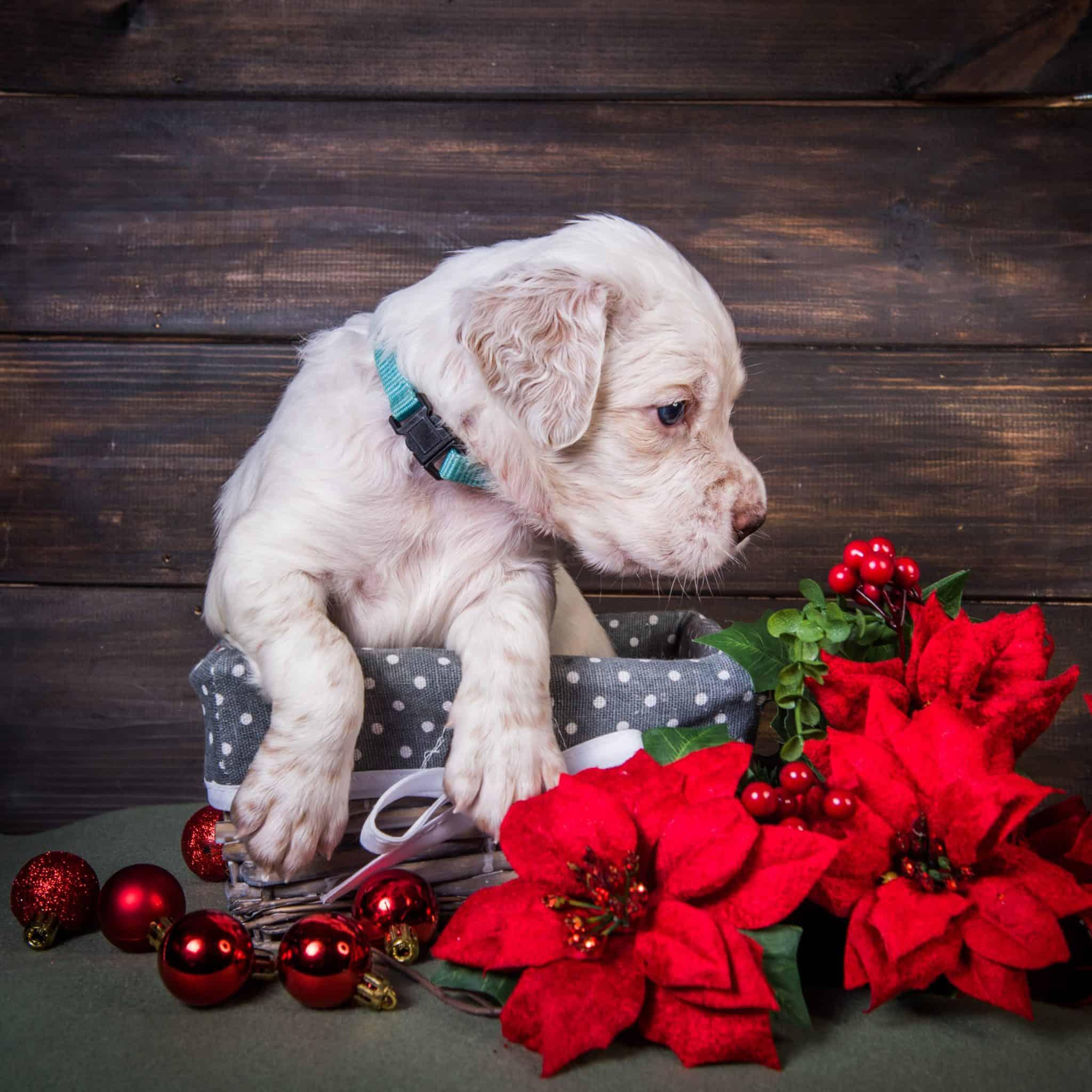 Are Poinsettias Poisonous To Dogs
