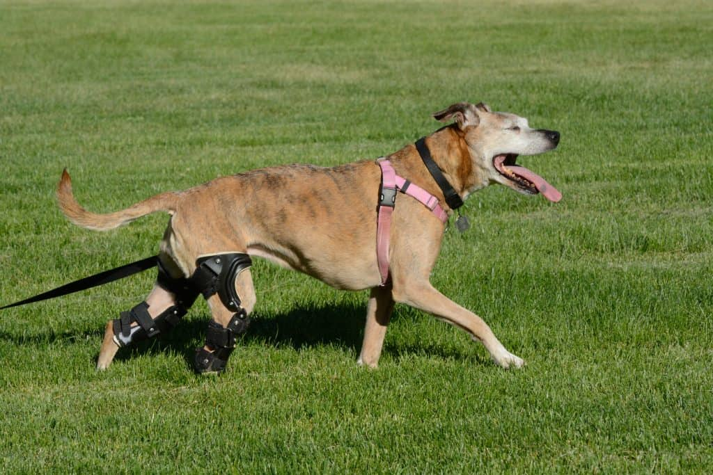 ACL Surgery Costs for dogs are high but often worth the outcome.