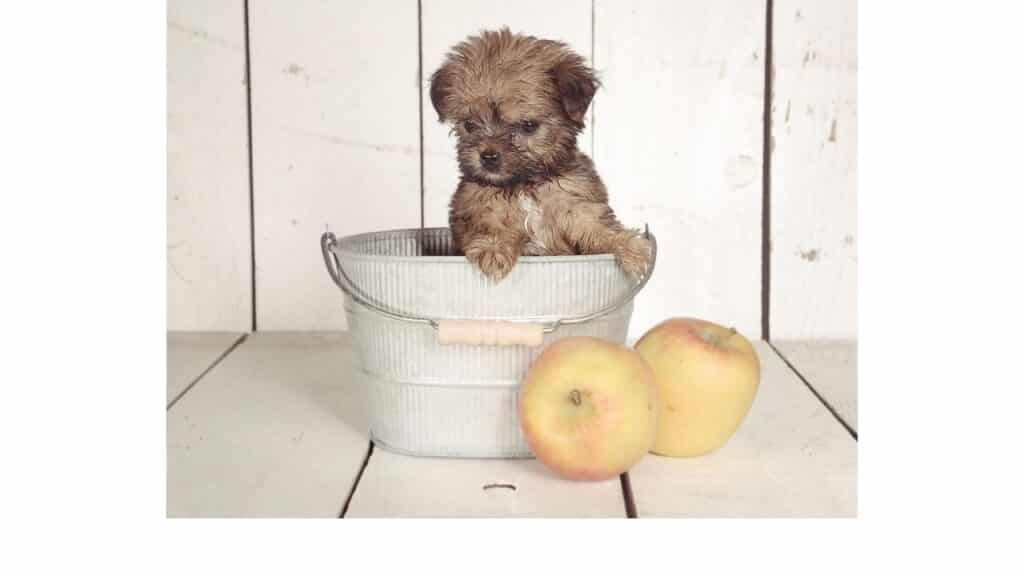 Owning a Teacup Yorkie Puppy Can Be Challenging