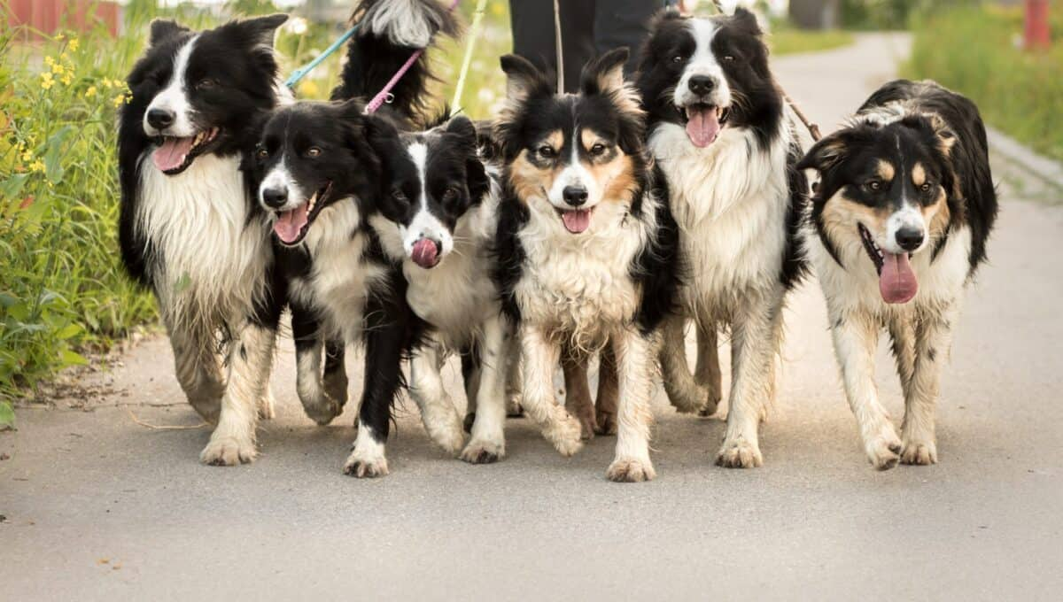 The bordetella vaccine for dogs protects against the highly contagious kennel cough infection.