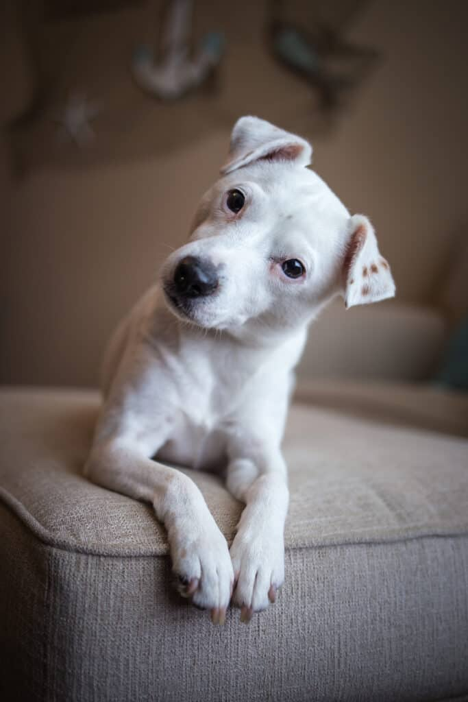 Jack Russell Terriers are a good dog breed that you may not have considered.