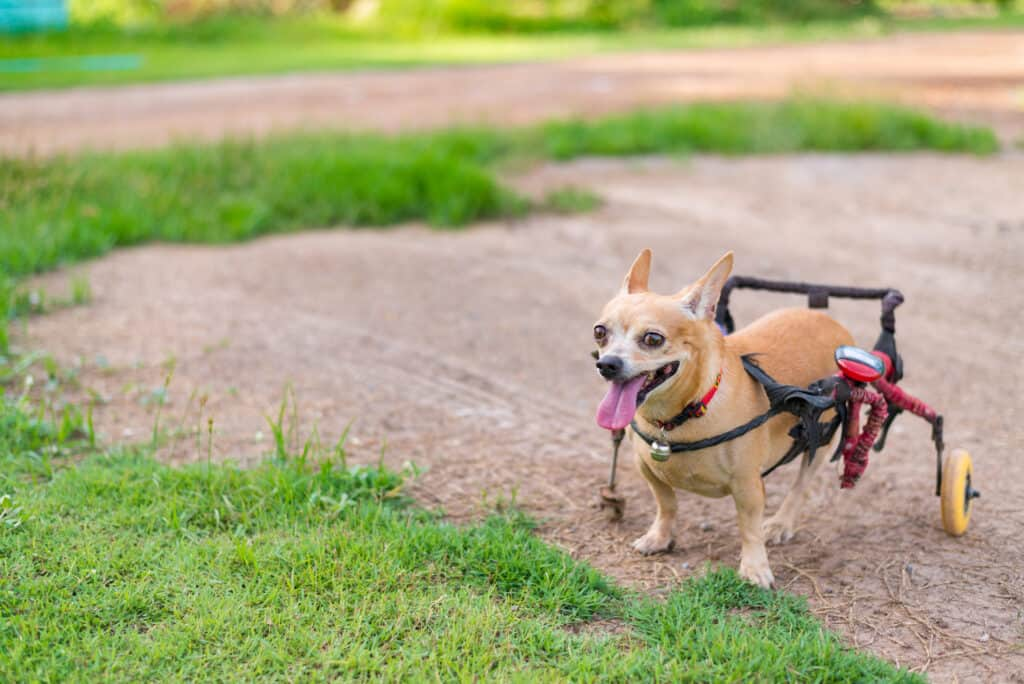 Tiny breeds are more likely to develop a slipped disc
