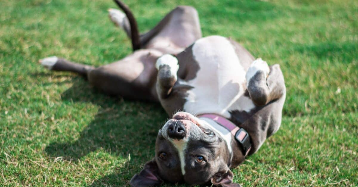 wobblers syndrome in dogs affect large breeds