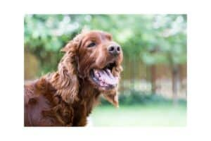 Diabetes Insipidus in dogs is a rare disorder that causes excessive drinking and urinating.