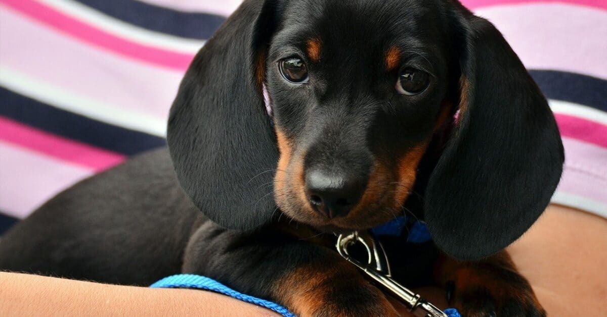 dachshund, puppy, young animal