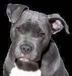 dog, pitbull, terrier