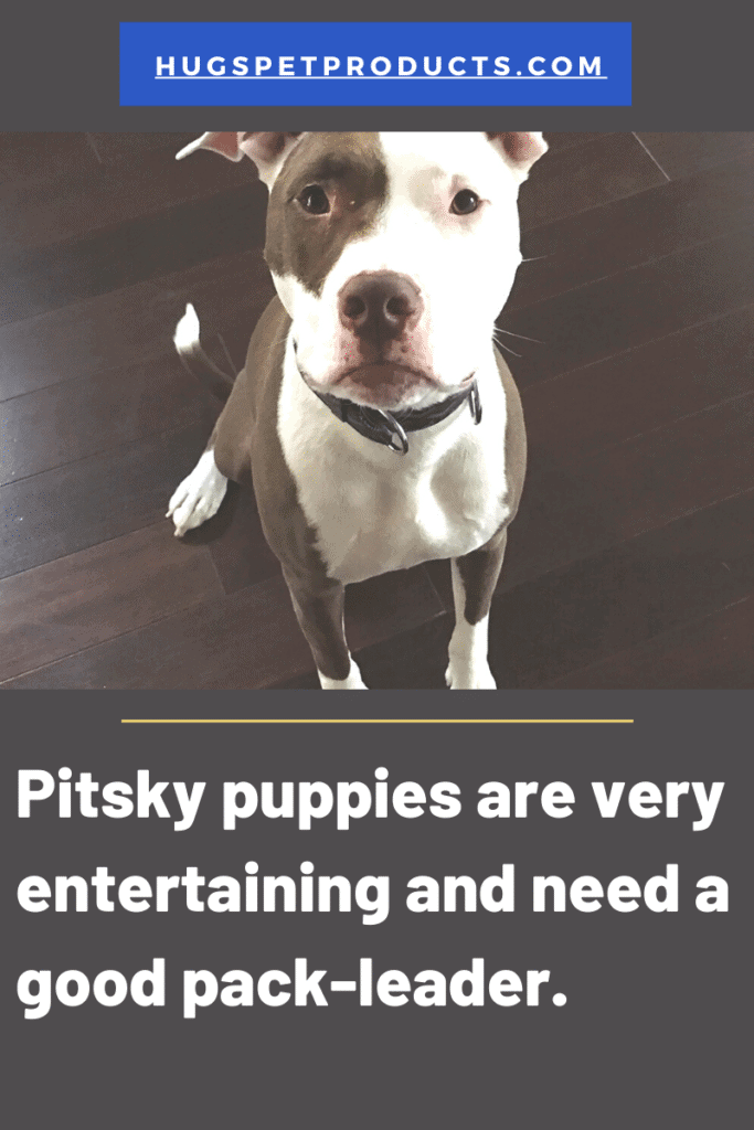 Pitsky Puppies are fun dogs who need a lot of exercise