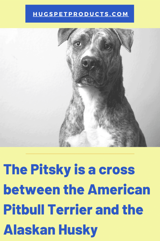 Pitsky puppies are fantastic dogs.