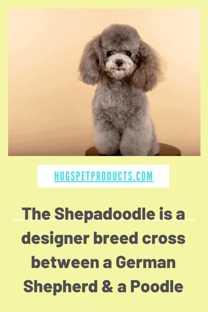 Shepadoodle Puppies are a mix between a german shepherd and a poodle