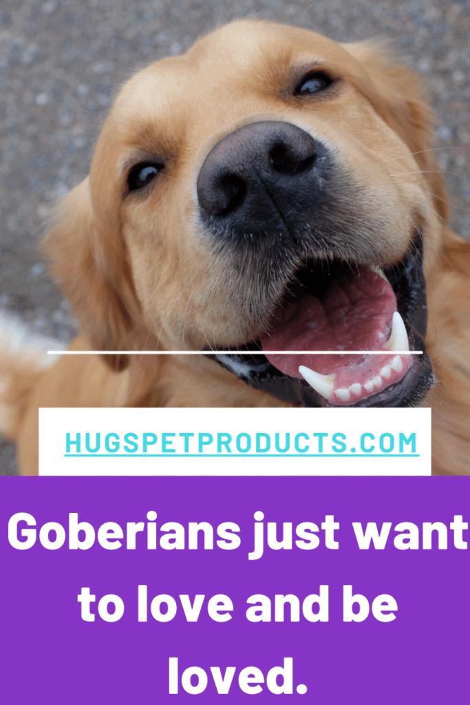 Goberians are designer dogs