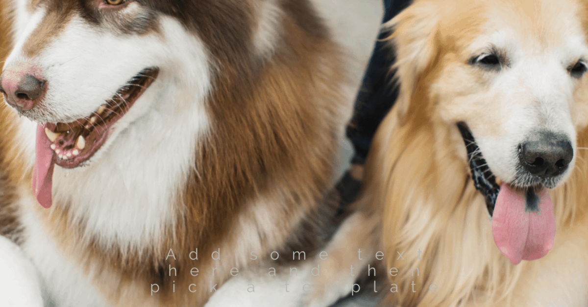 Goberian dogs are a mix of the husky and golden retriever.