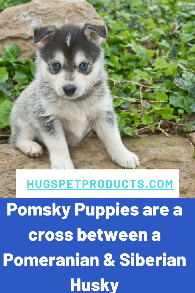 Pomsky puppies are a cross between a husky and a pomeranian.