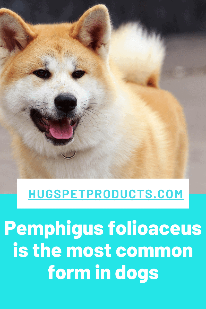Akitas are a breed at risk for pemphigus in dogs