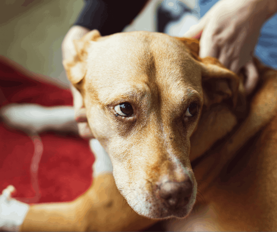 Heart murmur life expectancy in dogs