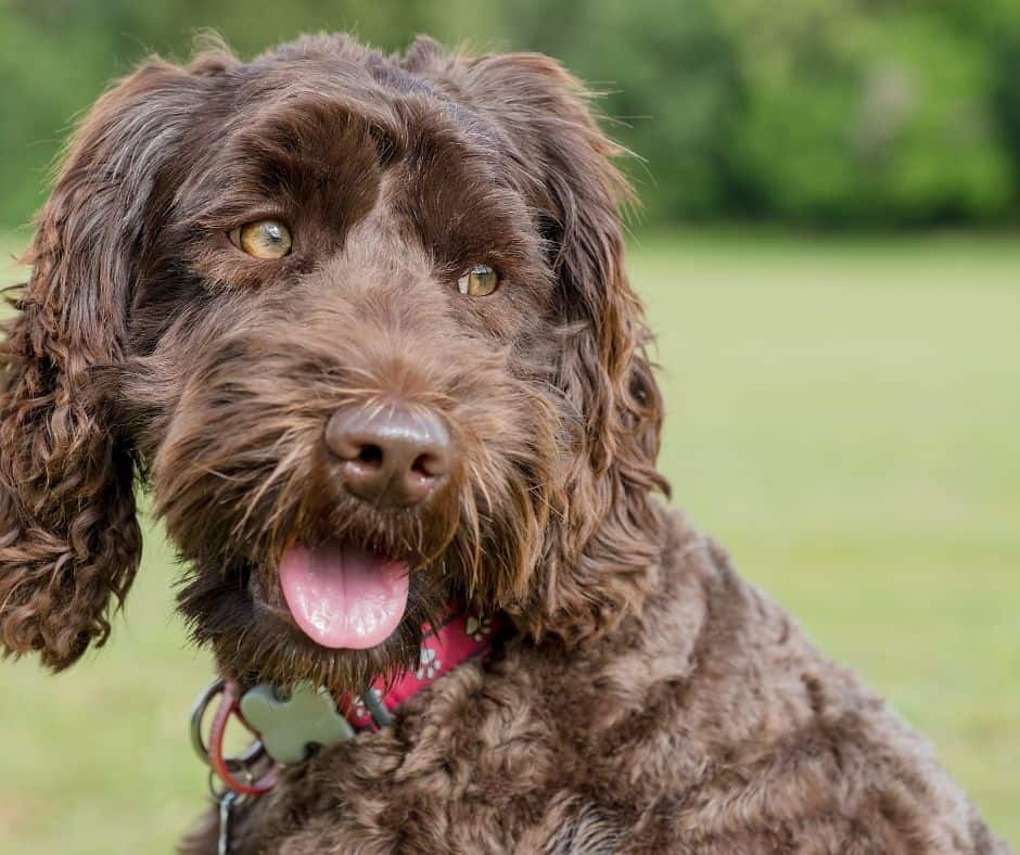 Labradoodles are intelligent and high energy crossbreeds